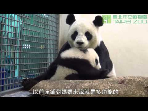 圓圓的床回來了 Giant Panda Yuan Yuan And Yuan Zai's New Bed