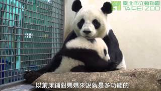 圓圓的床回來了 Giant Panda Yuan Yuan And Yuan Zai