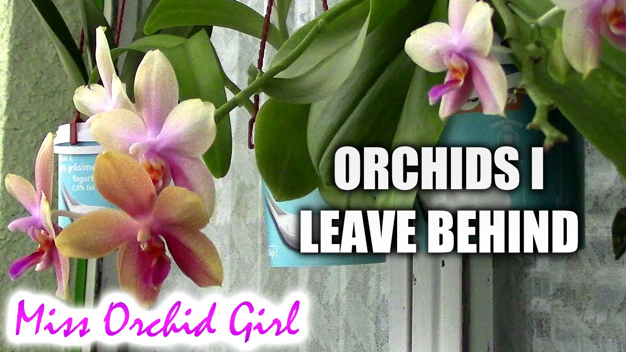 Orchids I Leave Behind Virused Spider Mite Damaged And Others