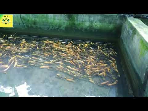 Ornamental Fish Culture In India || Aquaculture Fish Farming || Fish Farming & Culture