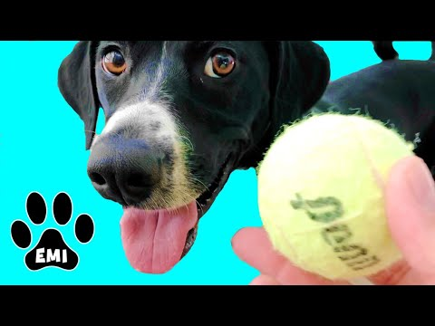 Fast Running Dog Emi (English Pointer) Playing with Tennis Balls = Cute Dog Video