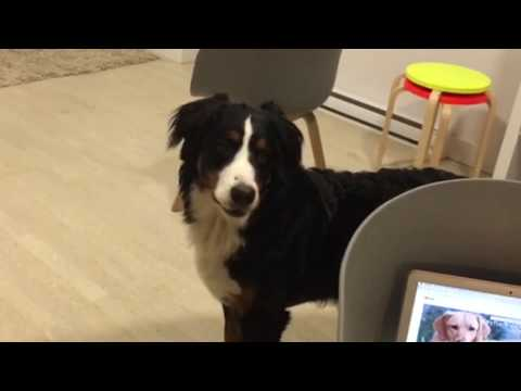 What Bernese Mountain dogs think of dog videos -Canela the berner