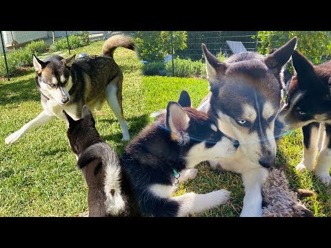 Wolf Plays with the Puppies for the First Time!
