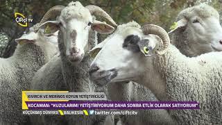 Küçükbaş Dünyası - Kıvırcık Ve Merinos Koyun Yetiştiriciliğinin Özellikleri.