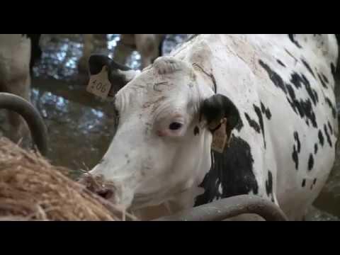 Filiera Tentingrana: latte-fieno in stalla, tutto l'anno