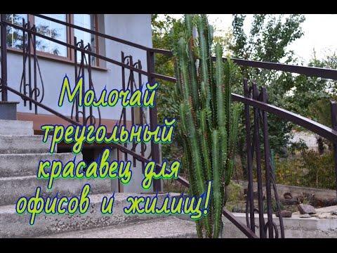 Молочай треугольный, Euphorbia trigona Выкапывем растение