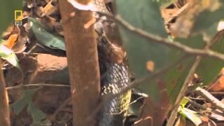 Male king cobra kills and eats pregnant king cobra