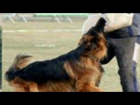 Top Breeds Of Long Coat German Shepherd Dogs!