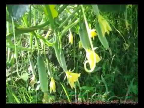 শসা চাষের আধুনিক পদ্ধতি/Modern methods of cultivation of cucumber