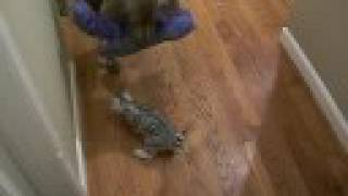 Silver Rosetted Bengal Kittens Play With Weimaraner