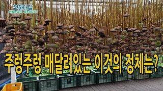 연자방 수확후 건조하기 연재배 연밥 연씨앗 [시골농부 천하대감]