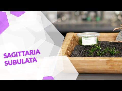 Sagittaria subulata, das Flutende Pfeilkraut, eine grasähnliche Aquarienpflanze fürs Aquascaping