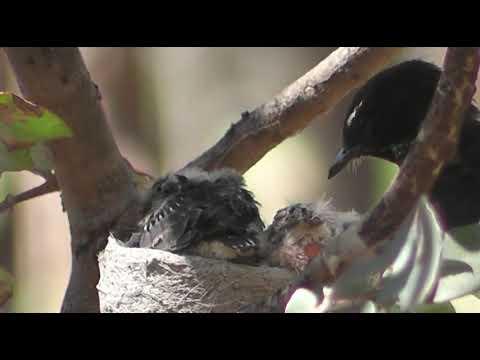 burung sikatan sedang meloloh anaknya