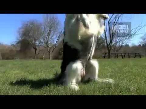 Dogs 101- Border Collie
