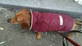 Teckelklub Sierra Dog Rain Coat - Dachshund Raincoat Review