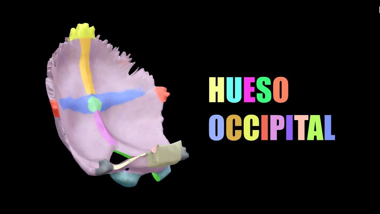 Hueso Occipital 3D - Anatomía MD - YouTube