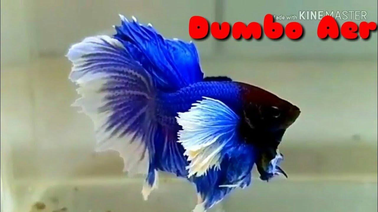 Ikan Cupang Dumbo Ear Youtube