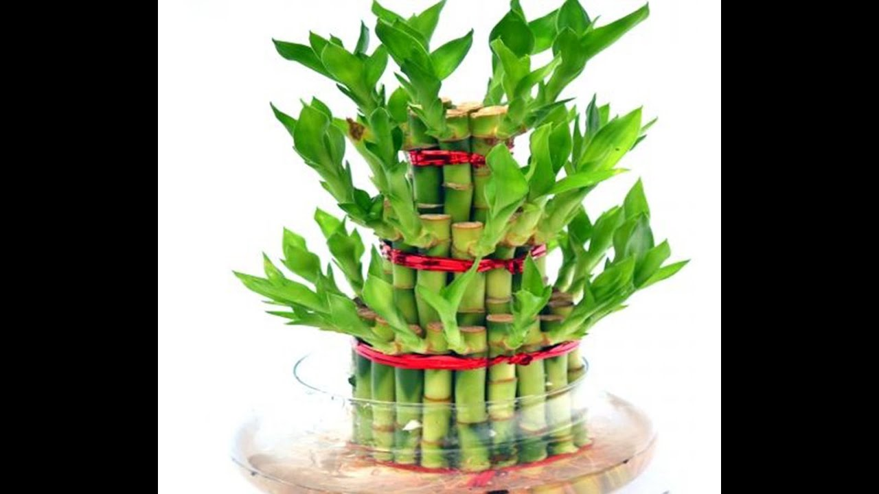 How To Grow Lucky Bamboo || Lucky Bamboo Care U0026 Tips   YouTube