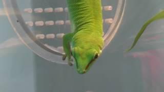 オオヒルヤモリ Madagascar day gecko