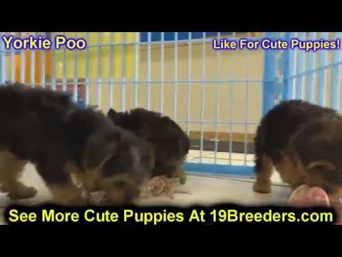 yorkie puppies for sale in richmond va toy poodle puppies for sale in hton virginia west 342