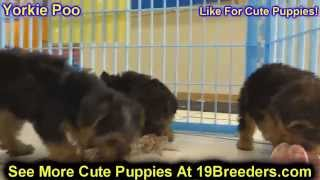 Yorkie Poo, Puppies, For, Sale, In, Louisville,county, Kentucky, Ky,  Richmond, Florence, Georgetown