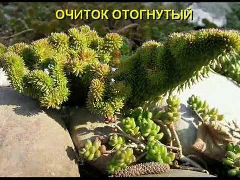 Знакомимся - почвопокровные растения, их название, фото. Часть 1