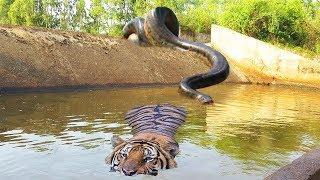 ビッグキャットパワフルは巨大なアナコンダ野生動物攻撃の餌食になる.