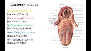 видео Пищеварительная система человека. Желудок