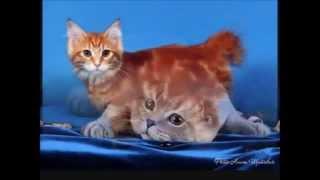Топ 10 самых лучших кошек. Лучшие породы кошек