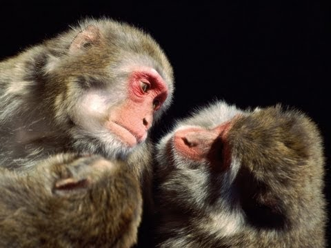 Monkeys Pay For Sex After Learning To Use Money