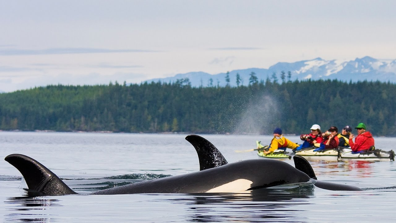 kayaking with killer whales - crooked compass - youtube