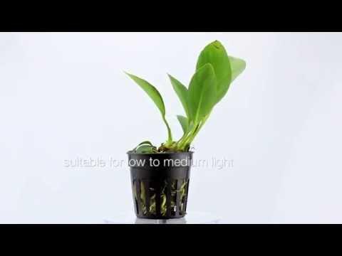 Anubias congensis - tie it to wood or rocks in your planted aquarium