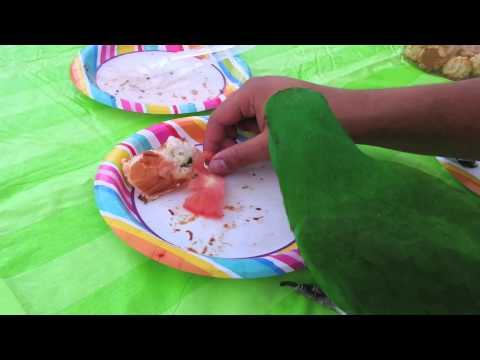 """Candy Corn"" an Eclectus Parrot, Looking for Treats"