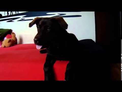 Nietypowy Okaz labrador 5 miesięcy - YouTube XV74