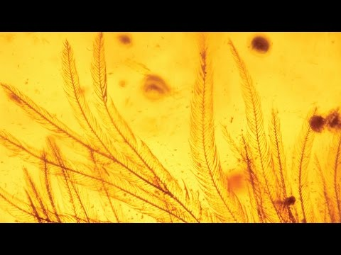 Dinosaur feathers in amber