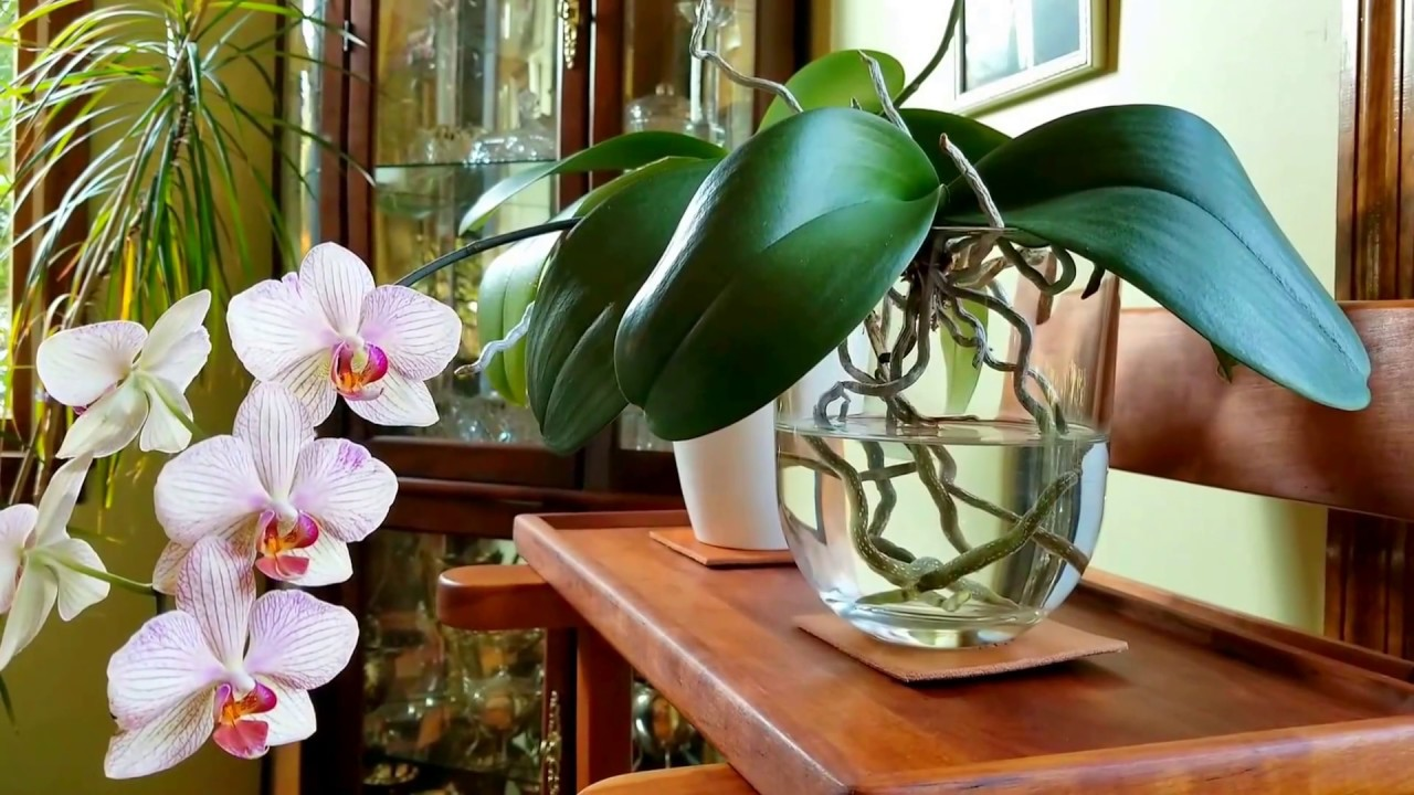 Root Growth And Bloom Cycles In Phalenopsis Orchids When To Cut