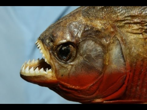 10 of the most dangerous fish of the world most for Dangerous fish in the amazon