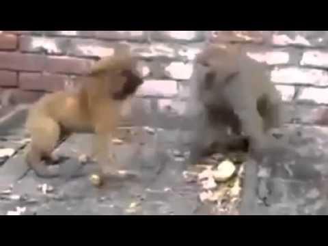 Video de Briga de um Cachorro com Macaco - Animais Brigando