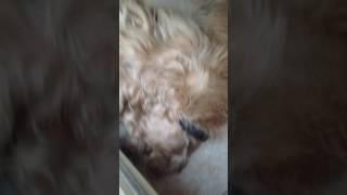 #кокеры 11. Кошмары во сне у собаки