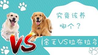 金毛VS拉布拉多究竟该养哪个哪个是最适合新手的中大型犬