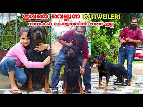 കേരളത്തിലെ ഒന്നാമന്മാരായ Rottweiler നായകളുമായി MD ROTTWEI KENNELS|Dog kennel  in kerala