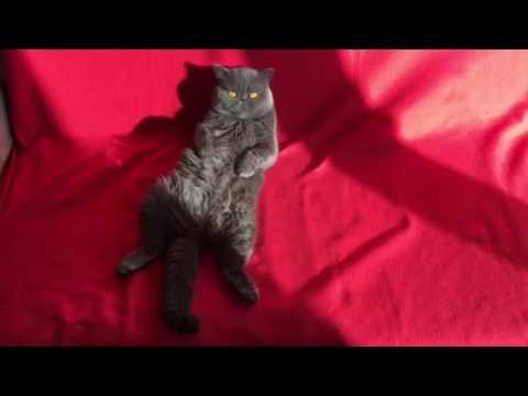 Exotic shorthair cat blue