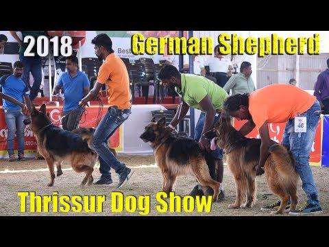 German Shepherd Dog|show Thrissur 2018