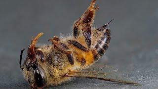 Пьяная пчела