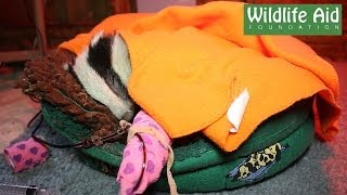 Anaemic Baby Badger saved by Oxyglobin