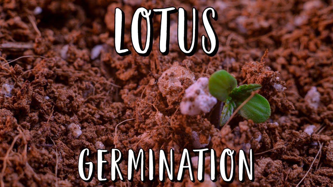 LOTUS Season: Germination