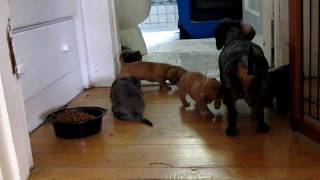 The march of the dachshunds
