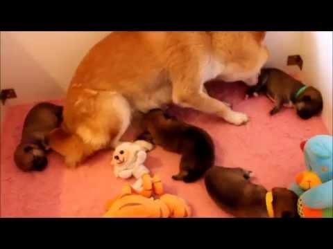 cachorros de shiba inu recin nacidos