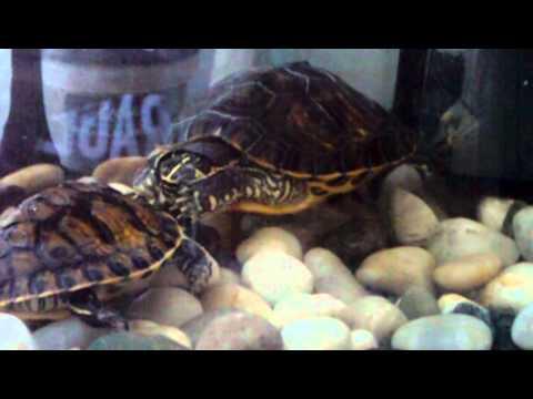 tartarughe d 39 acqua danza dell 39 amore youtube