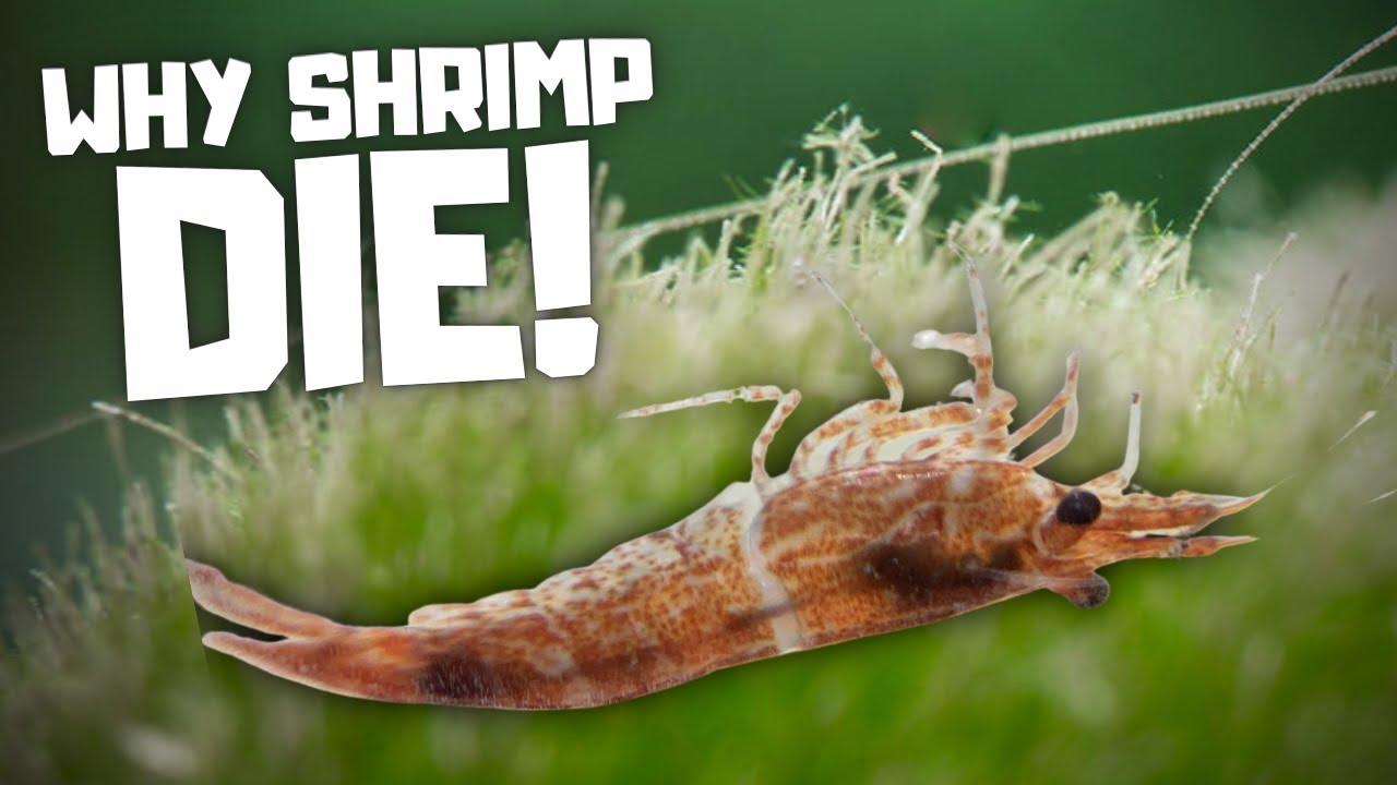7 Reasons Why Cherry Shrimp Die Youtube